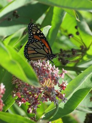 Una mariposa monarca en una planta de algodoncillo